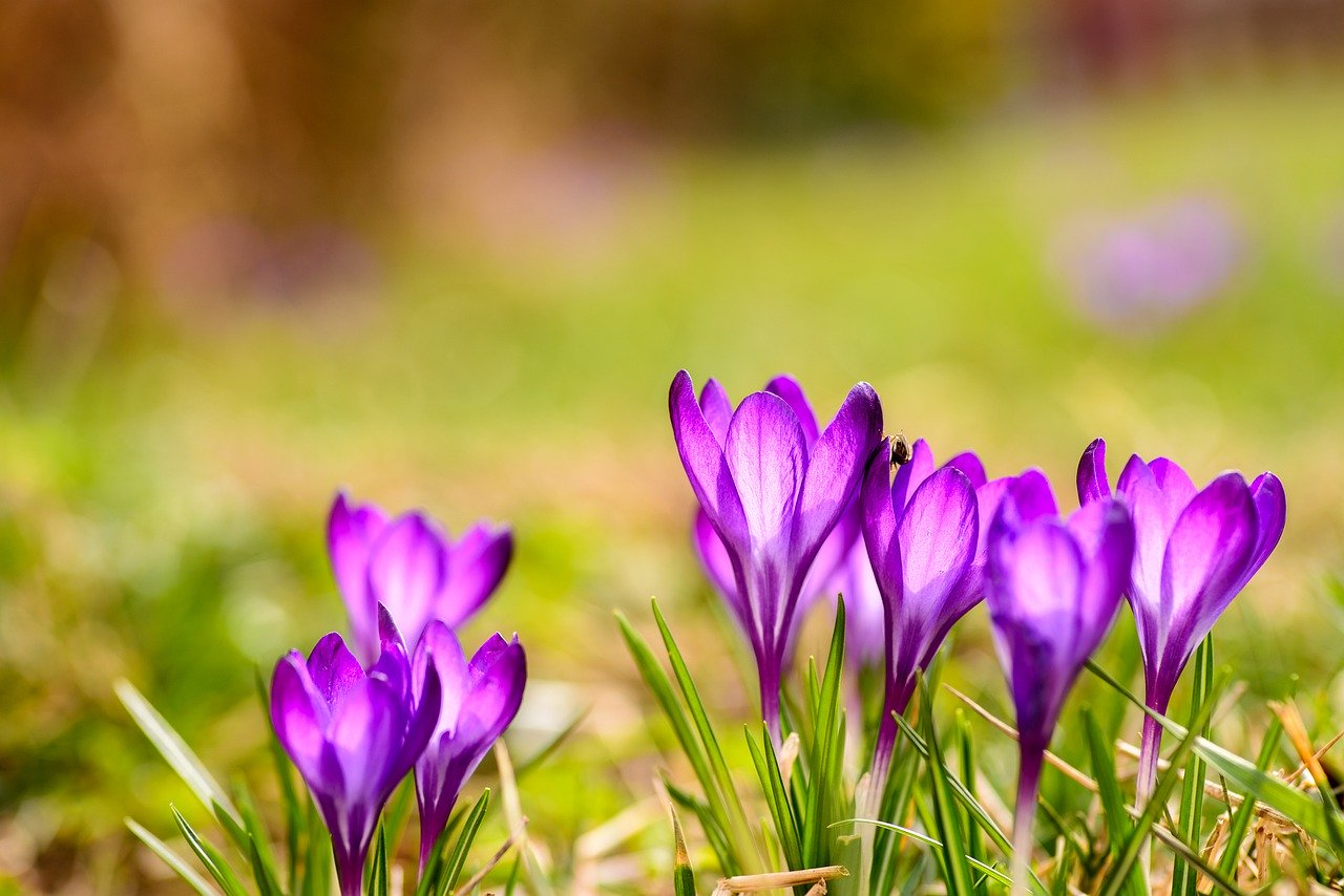 Frühlingsblume Krokus