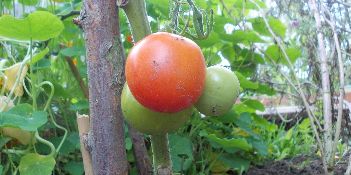 Frische Tomaten, eine ist reif und rot, die anderen sind noch nicht reif und grün